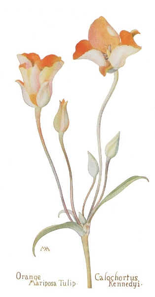 orange-tulip